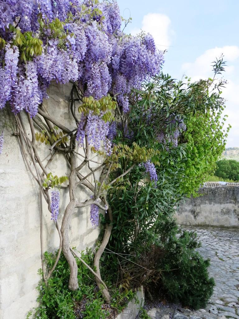 Wisteria, Villeneuve-lès-Avignon