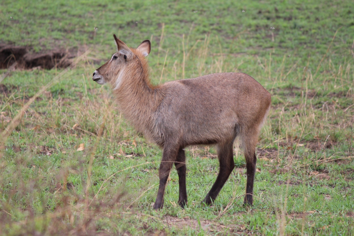 Waterbuck at Murchison Falls National Park