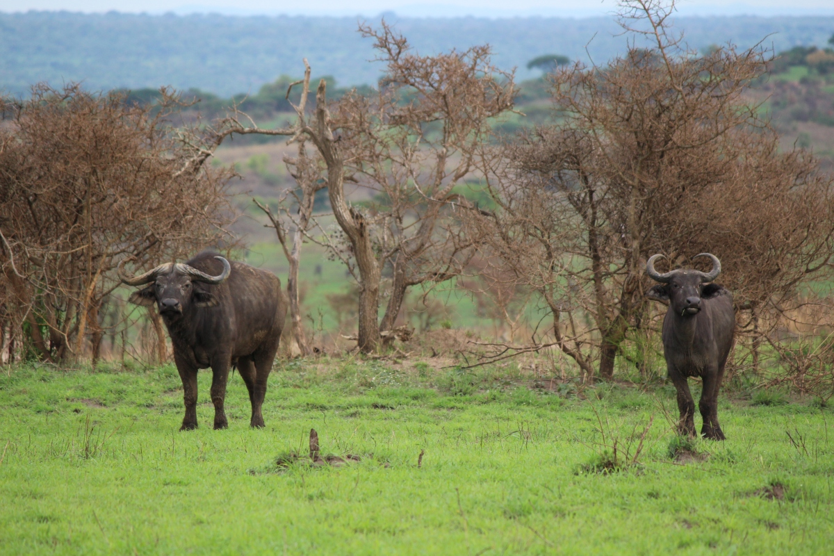 Buffalo at Murchison Falls National Park
