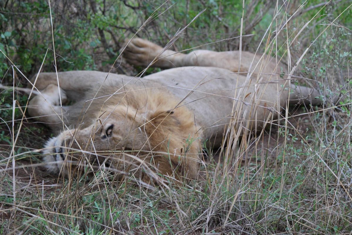Three-legged lion at Murchison Falls National Park