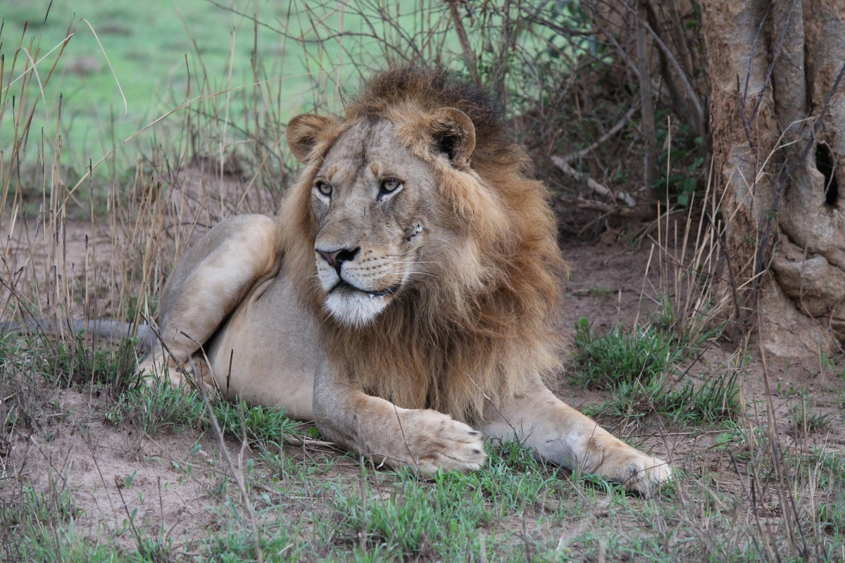 Lion at Murchison Falls National Park