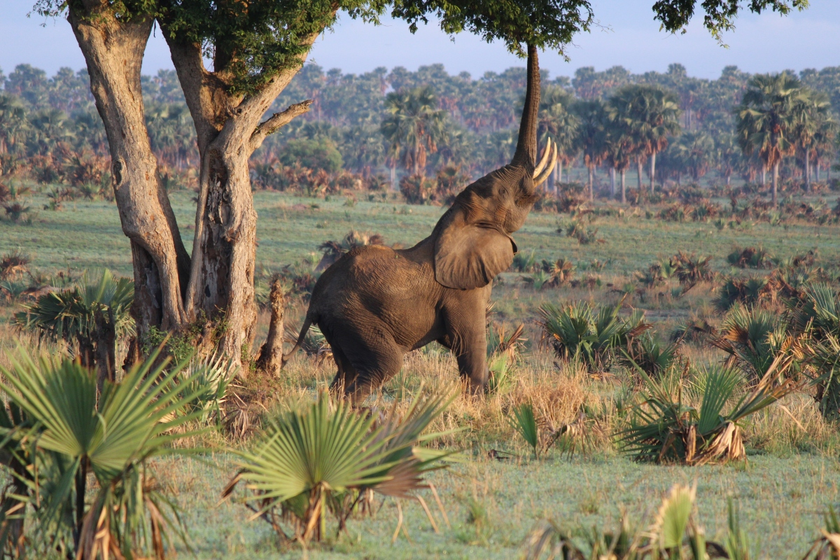 Elephant at Murchison Falls National Park