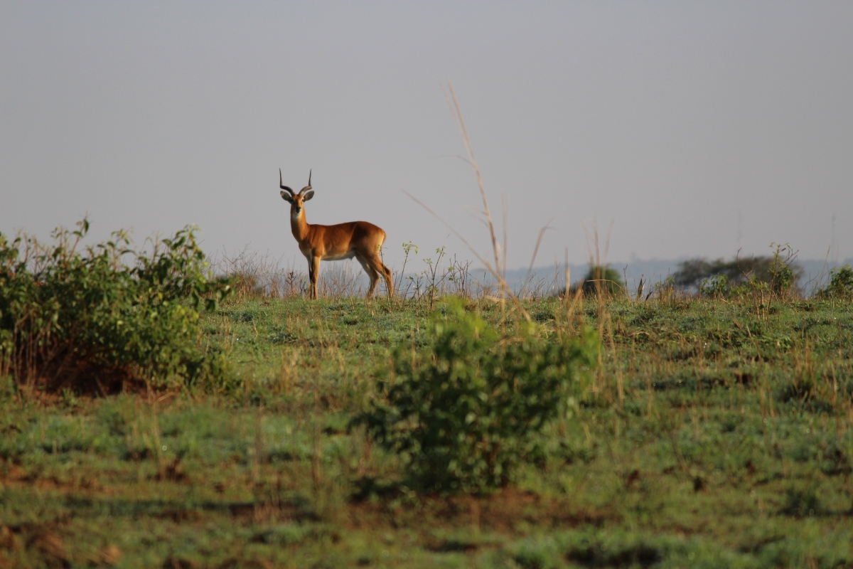 Ugandan kob at Murchison Falls National Park