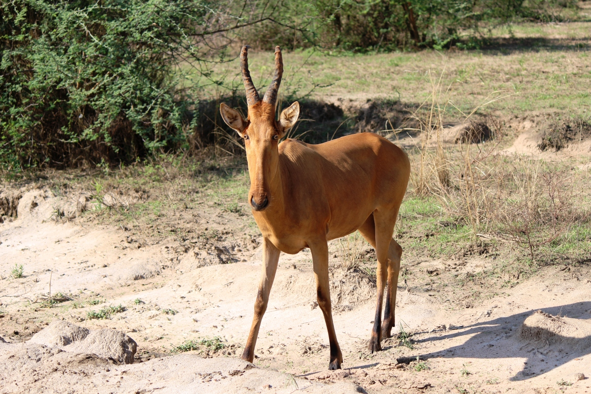 Jackson's Hartebeest at Murchison Falls National Park