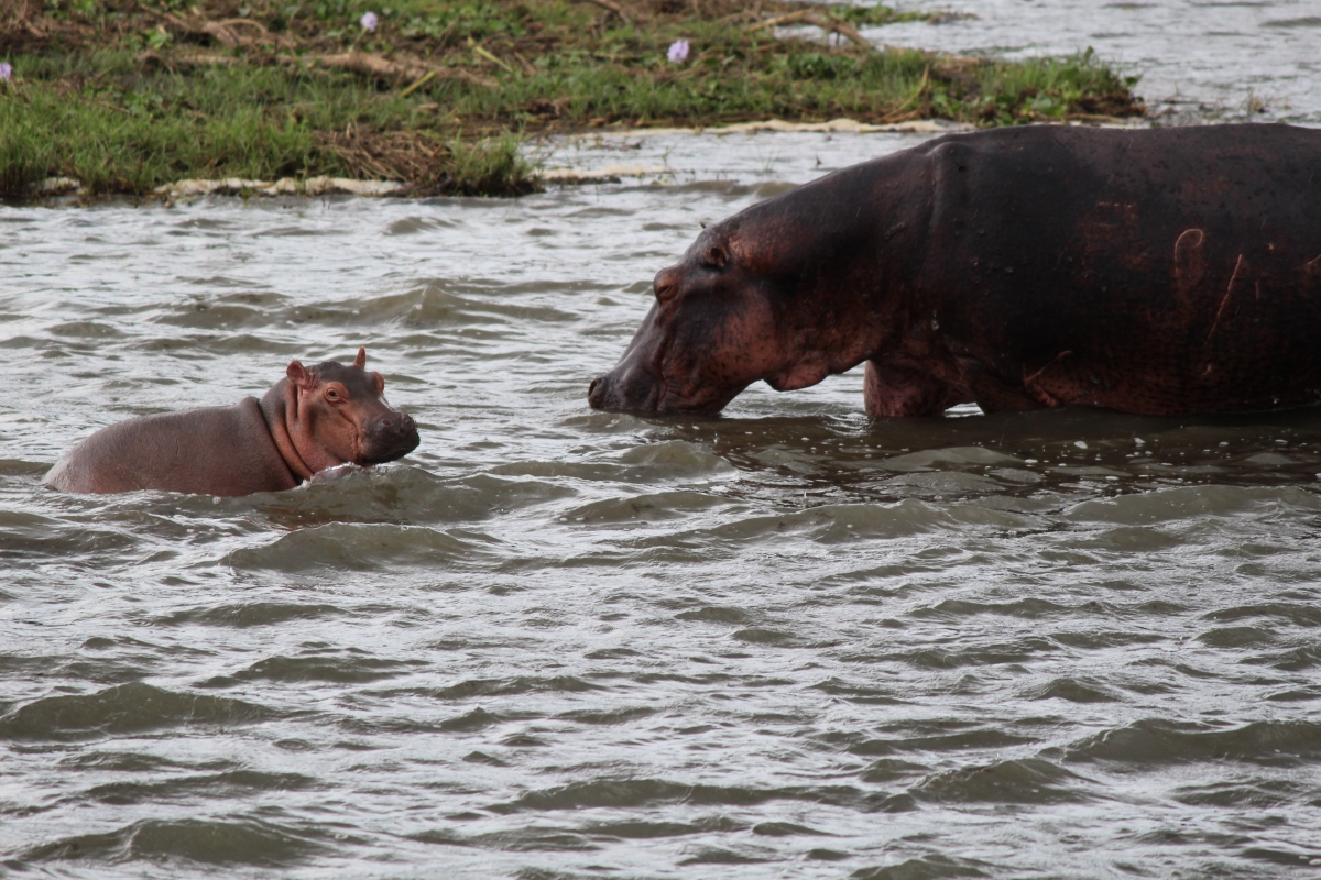 Hippos on Paraa Safari Lodge Boat Tour