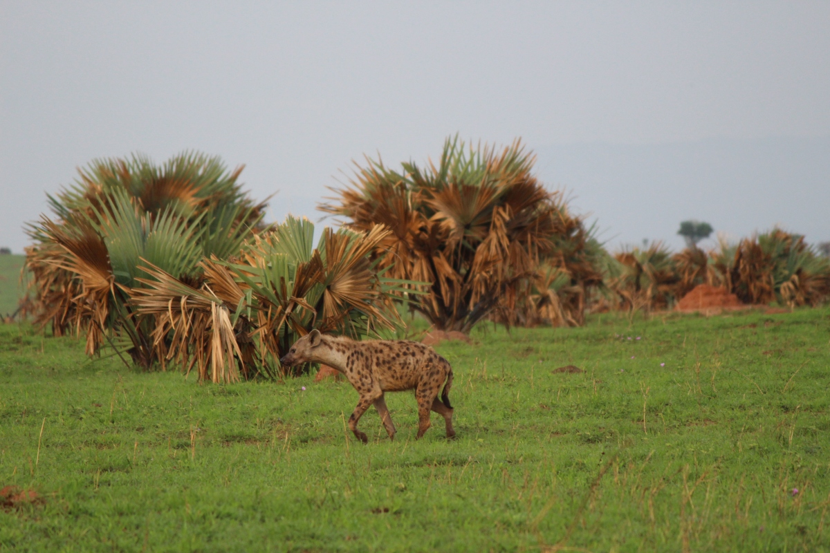 Hyena at Murchison Falls National Park