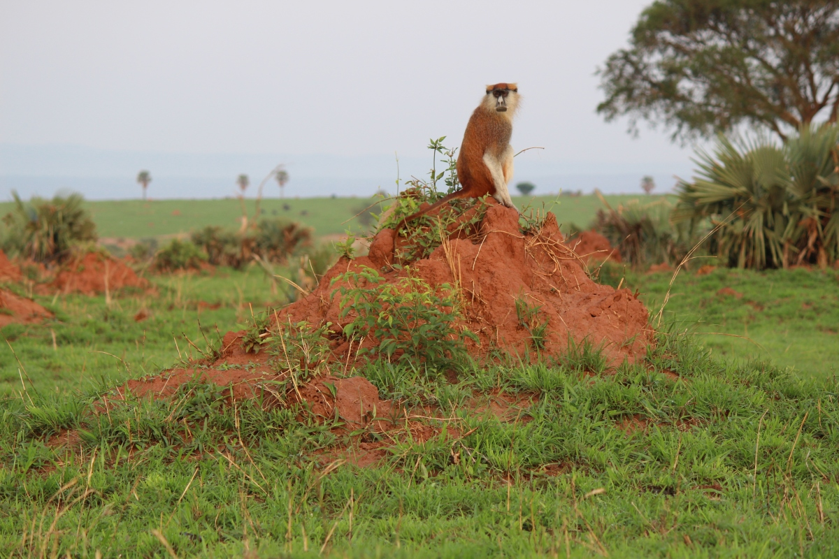 Patas monkey at Murchison Falls National Park