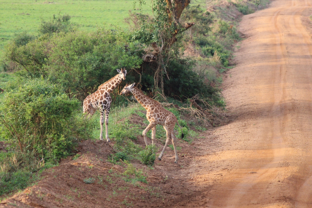 Young giraffes at Murchison Falls National Park