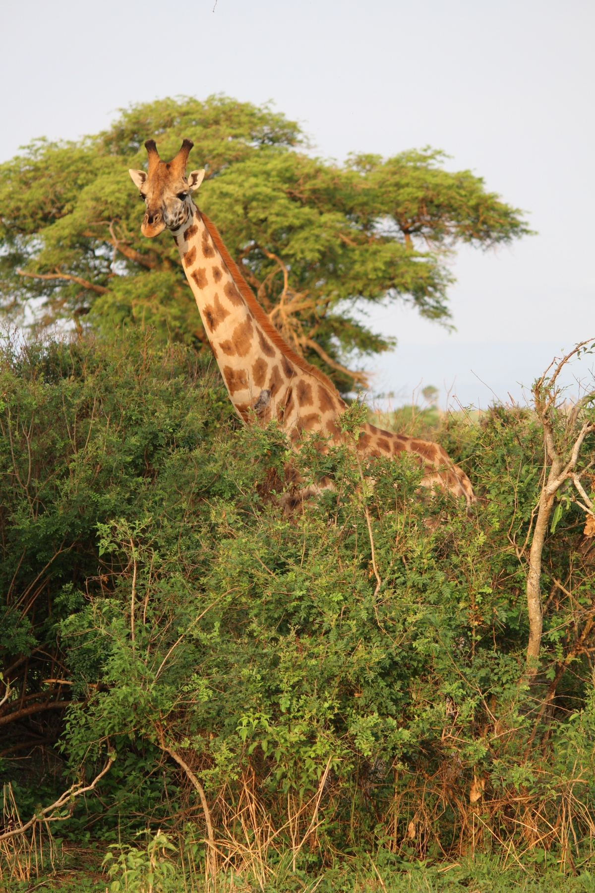 Giraffe at Murchison Falls National Park