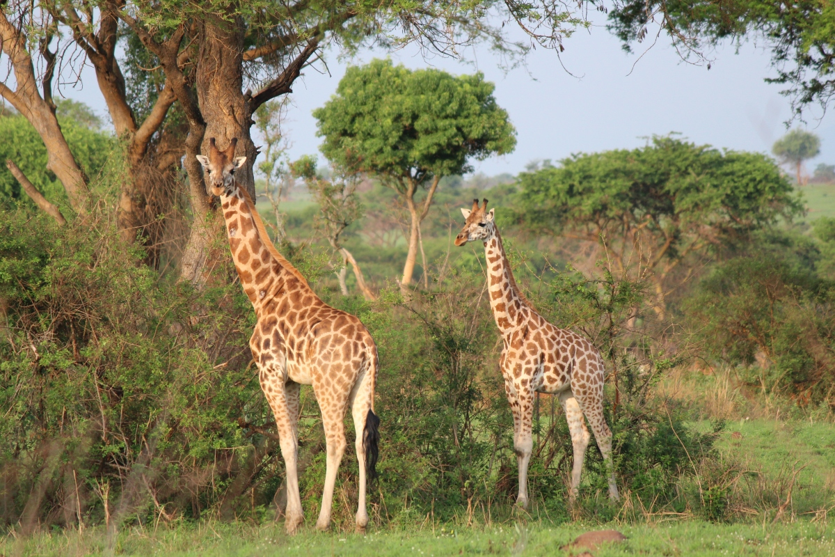 Giraffes at Murchison Falls National Park