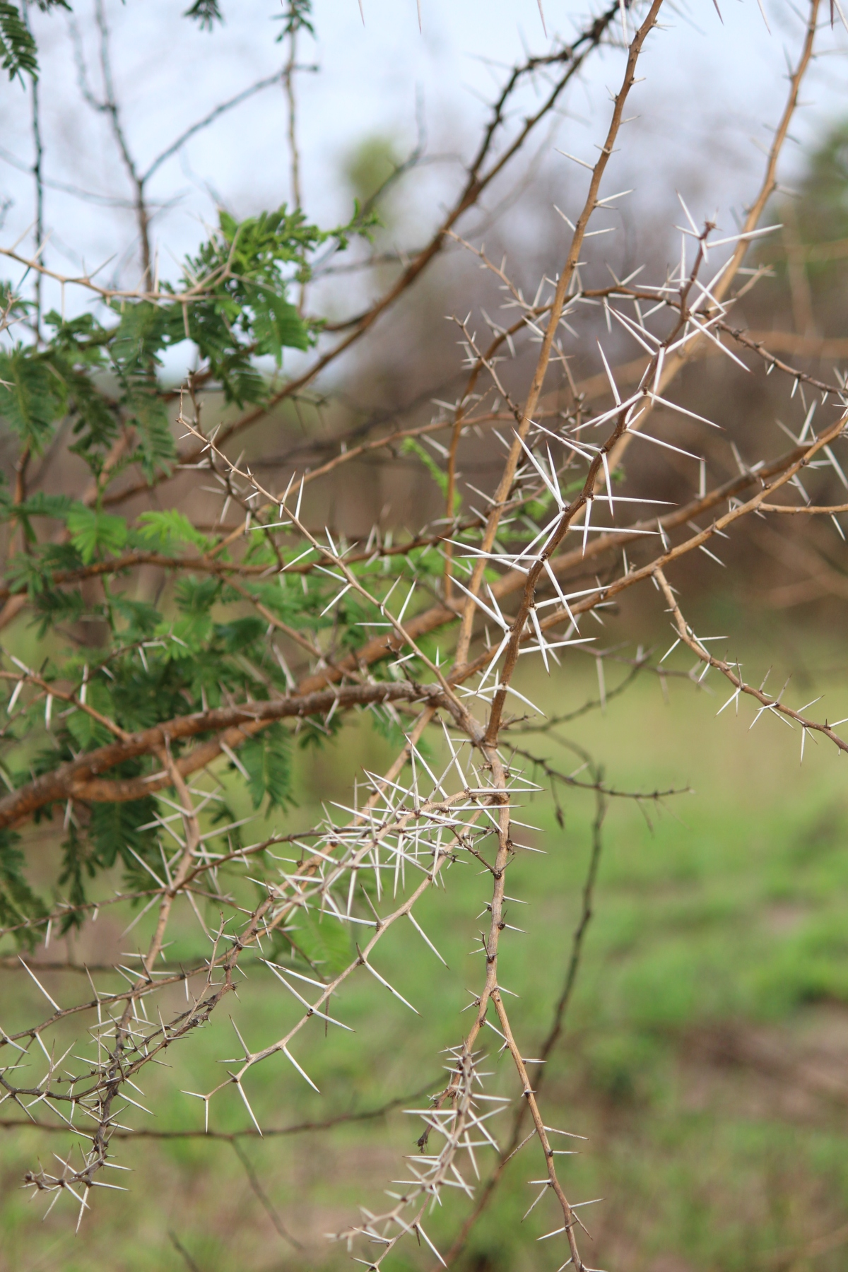 Thorny bush at Murchison Falls National Park