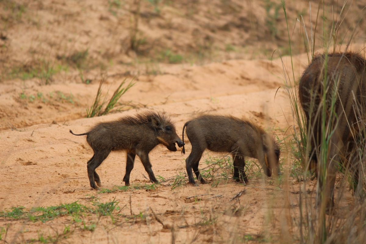 Baby warthogs at Murchison Falls National Park