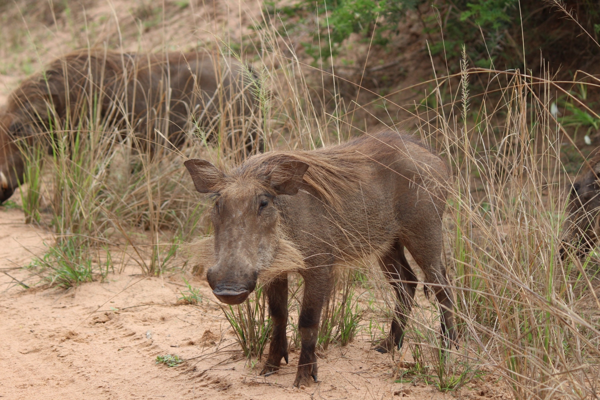 Warthog at Murchison Falls National Park