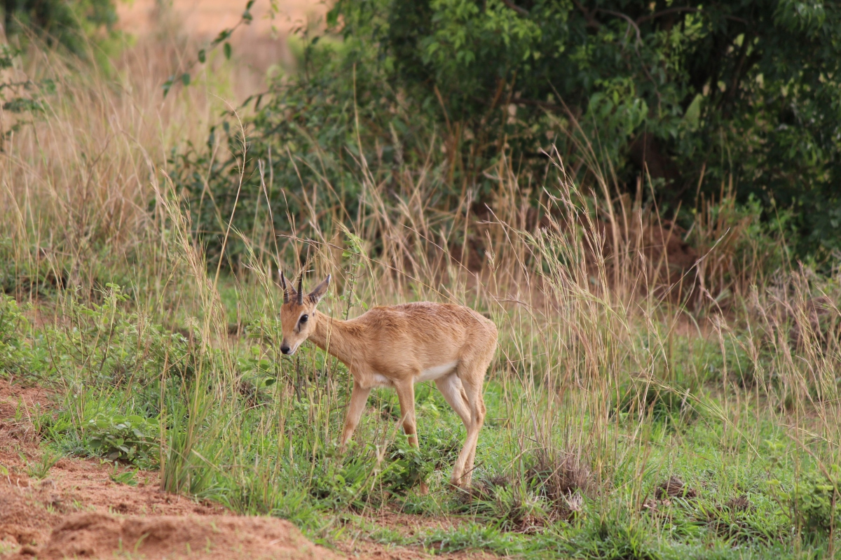 Oribi at Murchison Falls National Park