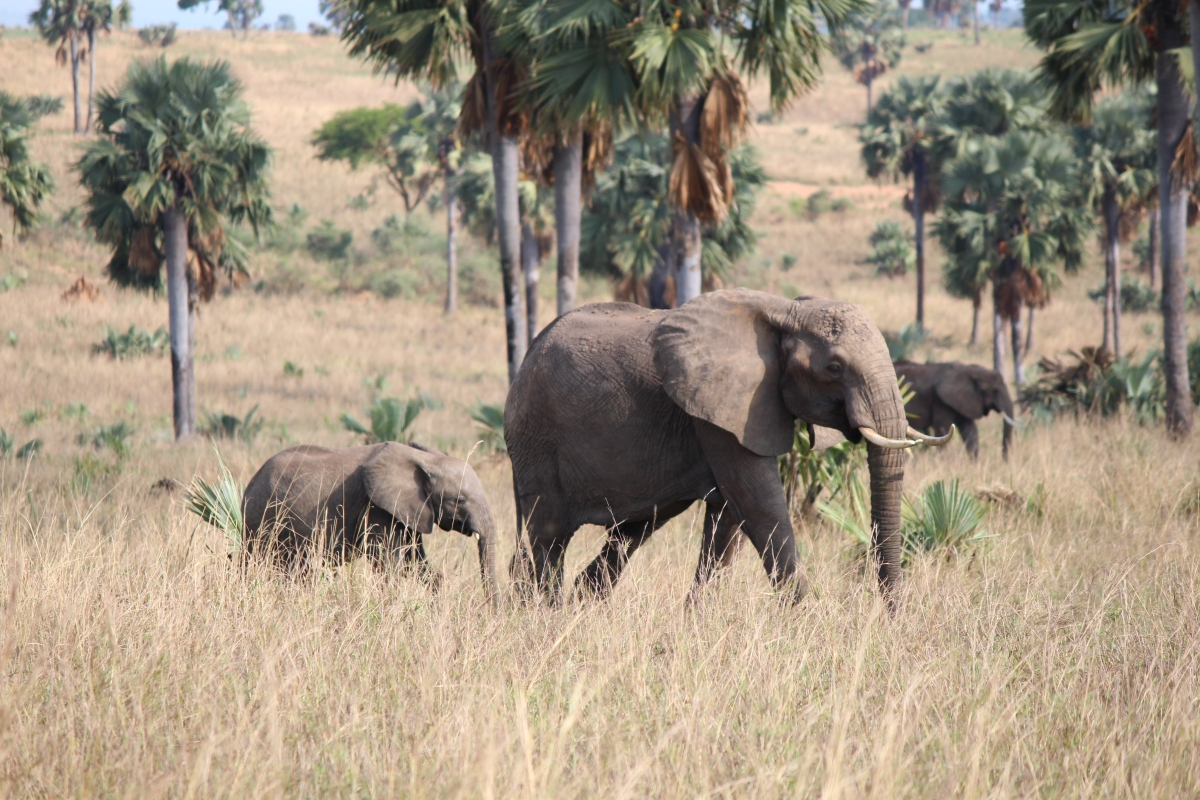Elephants at Murchison Falls National Park