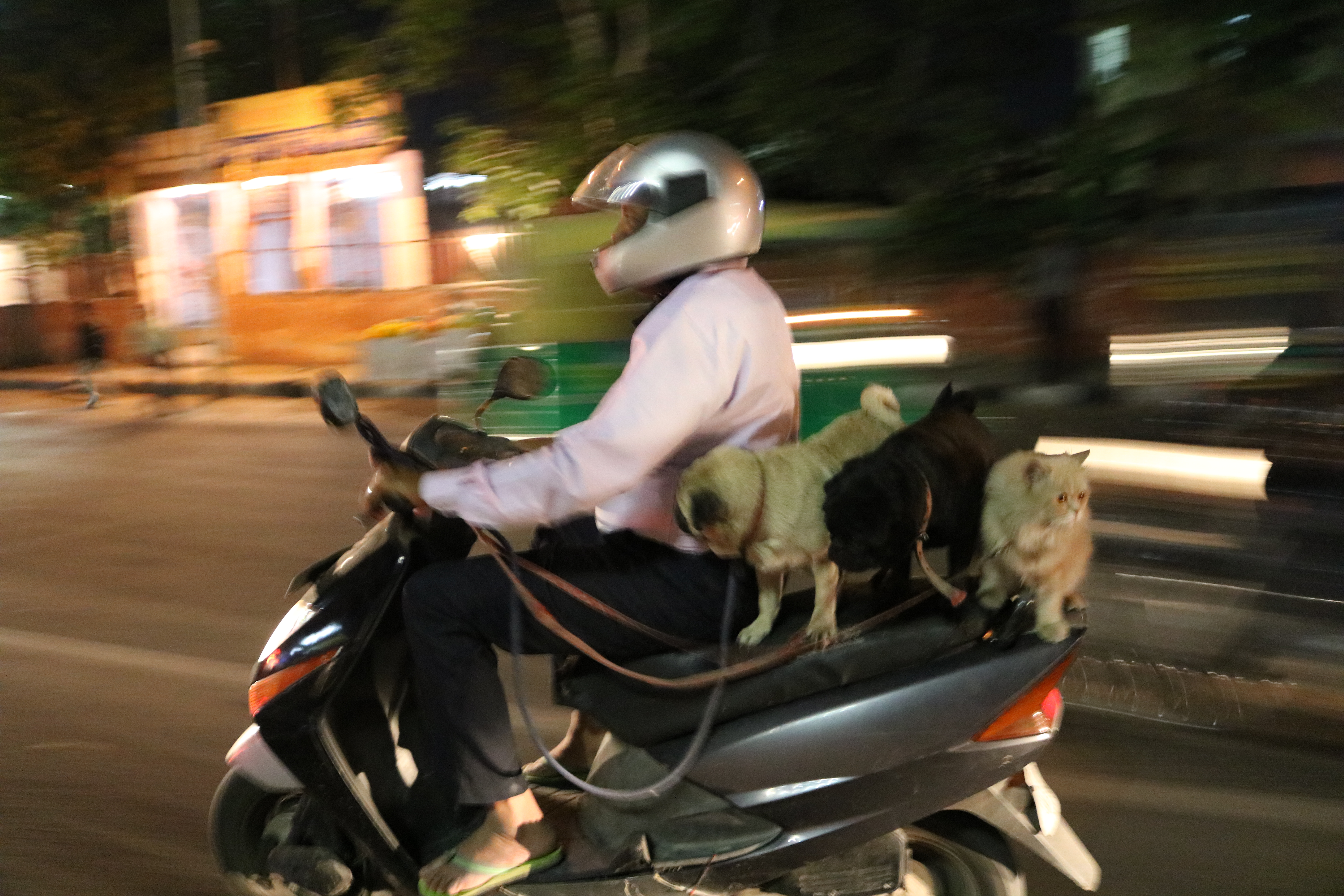 Pets on scooter, India