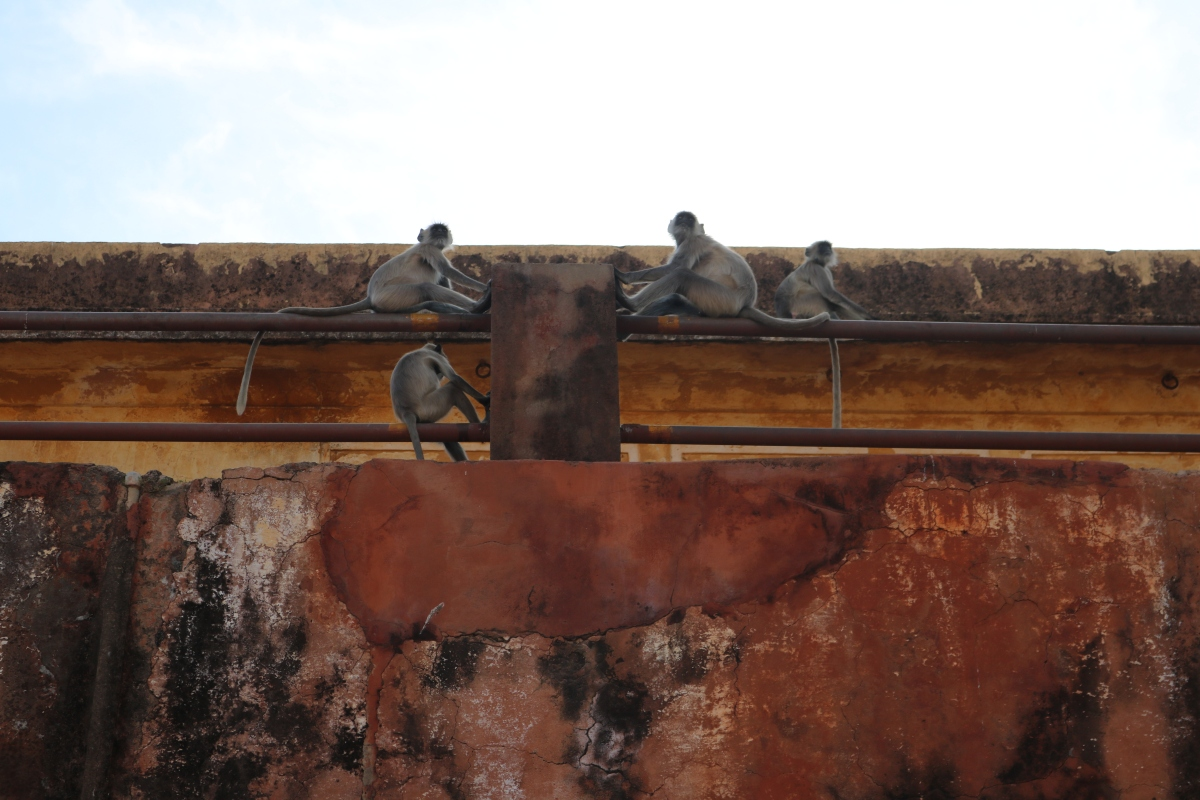 Monkeys, Mehrangarh Fort, Jodhpura, India