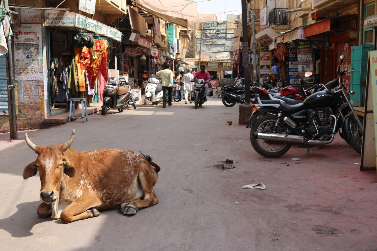 Cow in Jaisalmer, India