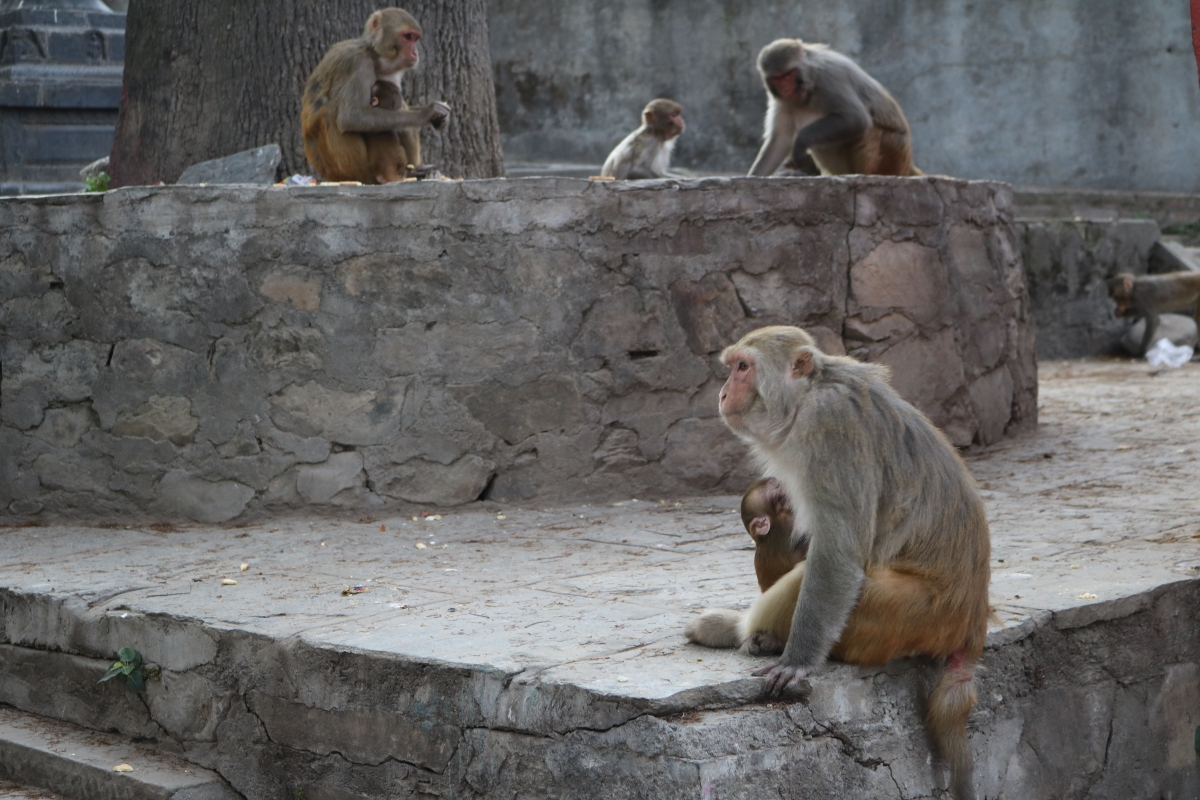 More monkeys at Swayambhunath Stupa