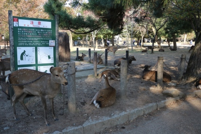 deer, Nara (2)