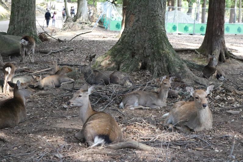 deer, Nara