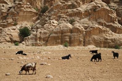 Goats, al Beida