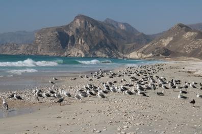 Seagulls, Al Mughsail Beach